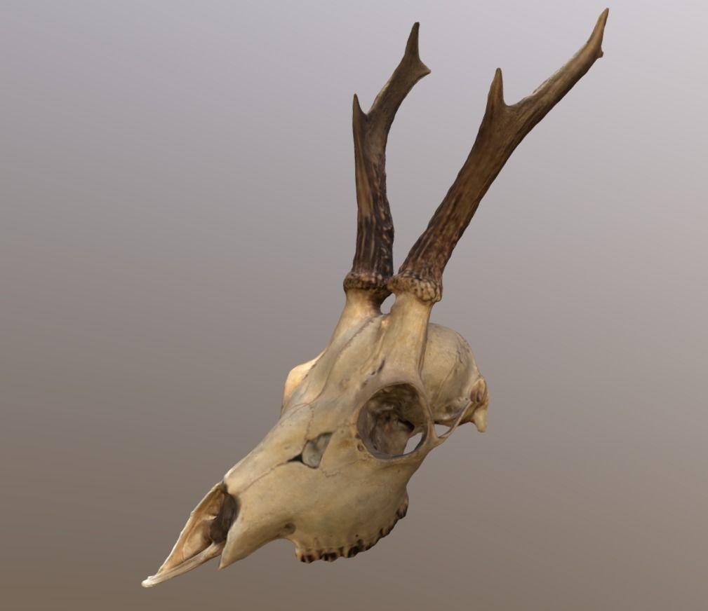 Как выварить череп, если есть рога