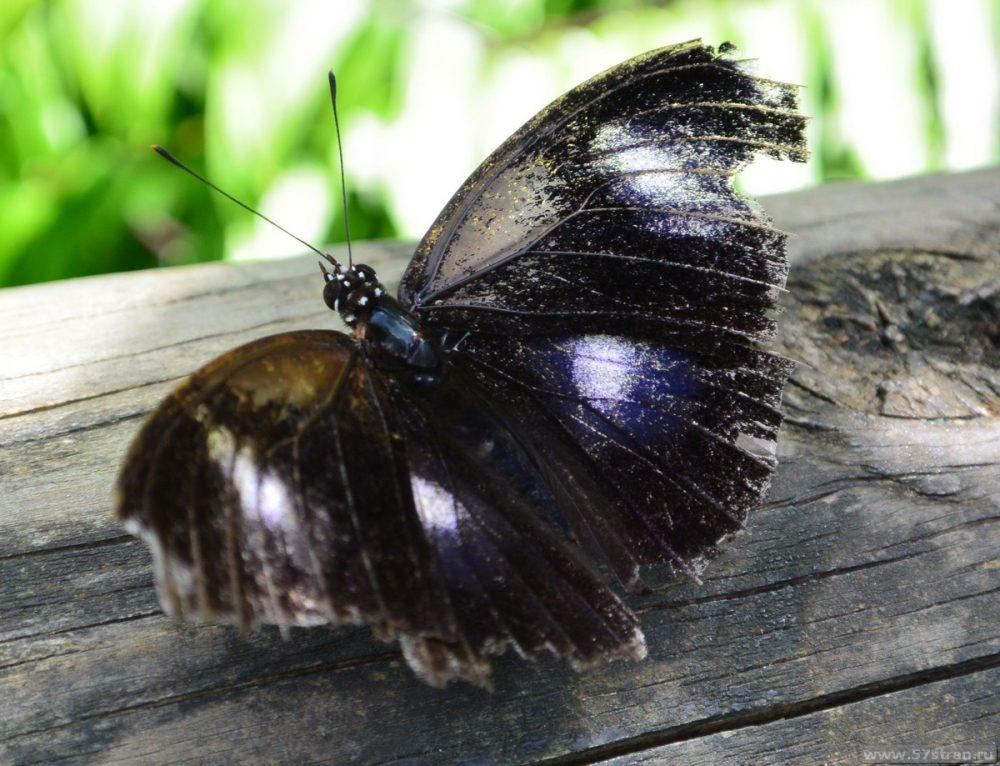 Бабочки в Австралии